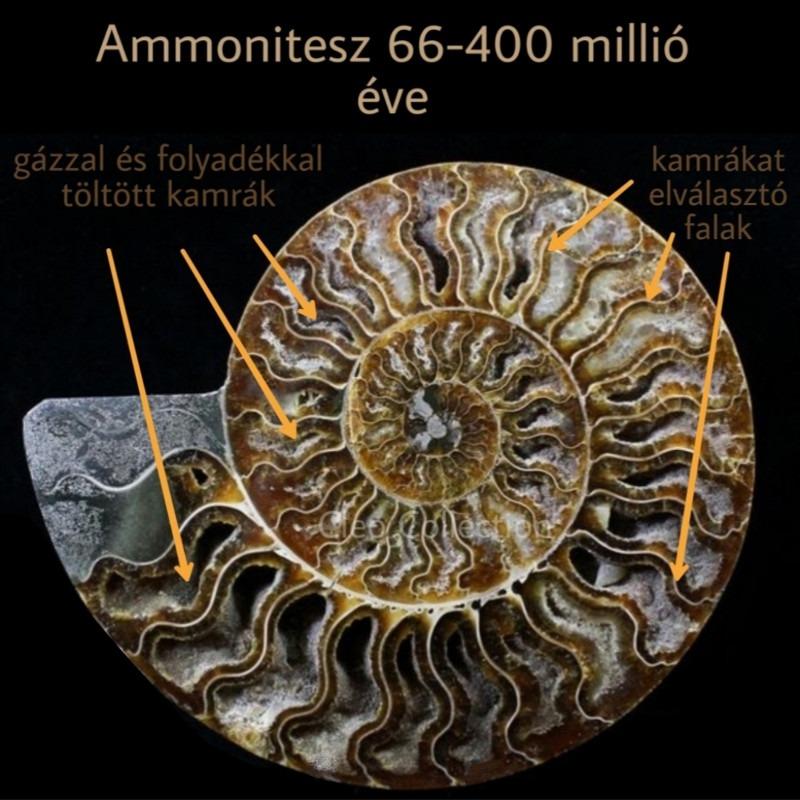 Ammonitesz, tintahalszerű lény