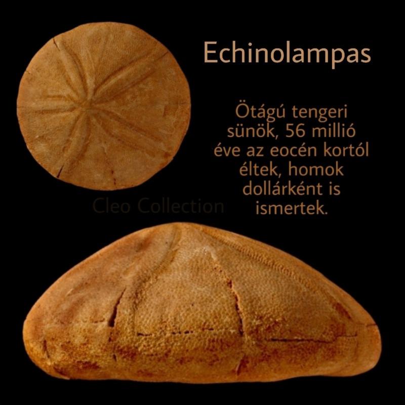 Echinolampas, barciensis, tengeri sün