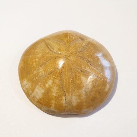 echinolampas-fosszilia